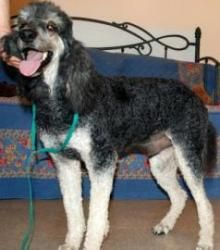 Boo is an adoptable Standard Poodle Dog in Columbia, MO. Boo (or, Boo Radley, as I call him), is a fabulous dog! Super sweet, a great size (on the smaller end of standards), gets along perfectly with ...