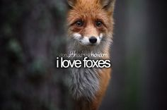 i love foxes