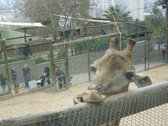 jirafa pose sensual de labios jajajaja