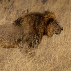 d3be3f2dcb90 Punish Men Who Allegedly Helped Hunter Kill Cecil the Lion Wildlife  Conservation