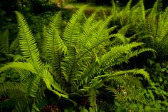 Western Sword Fern. Interesting upright texture. Very low maintenance, zones 3-8, can grow very large 3-4ft tall and 3-4ft wide.