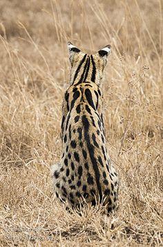 Serval Cat-1782