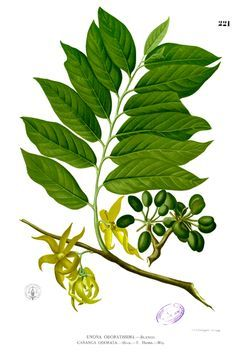 CANANGA ODORATA The plant from which Ylang Ylang essential oil is distilled