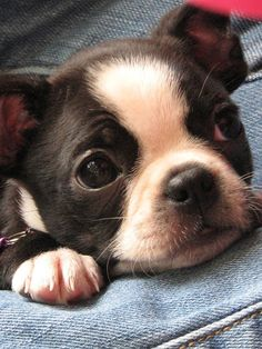 adorable boston terrier puppy