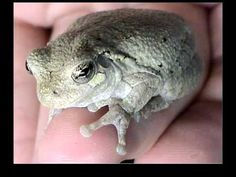 Frogs and Toads of Iowa--PCC video