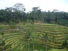 Denpasar, Bali. Ricefields