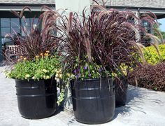 Purple Fountain Grass in large mixed containers. Fountain Grass, Container, Purple, Flowers, Plants, Purple Stuff, Flora, Plant, Royal Icing Flowers