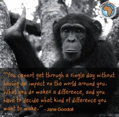 http://www.africanimpact.com/conservation-volunteering/wildlife-research/chimpanzee-and-wildlife-orphan-care-project