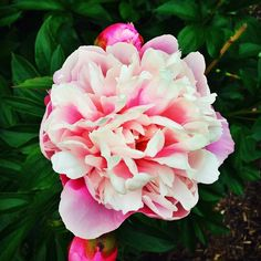 Did you know there are 270 curated varieties of Peonies in the Peony Garden at Nichols Arboretum? The garden holds nearly 10,000 flowers at peak bloom. Taking a nature walk is an amazing way to de-stress, so if you're headed to the Arb, be sure to check out the garden! #annarbor #goblue #umsocial