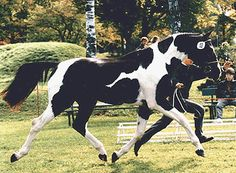 Sinclair B. Greenstone Farm, LLC is proud to offer Sinclair B as part of our breeding program. This quality Pinto stallion was bred and licensed in Germany. He is registered Bavarian and approved for breeding with Hessen and ZfdP through the 100 day test. Sinclair B has also been approved for breeding in Stud Book I of Rheinland Pfalz Saar International (RPSI), a German Warmblood Registry.