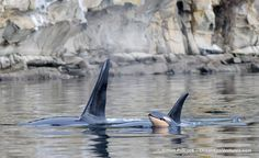 The Pacific Whale Watch Association says the latest baby pictures are in and so far the news from Orca Country is good. Orcas, Dolphin Family, Undersea World, Ocean Creatures, Killer Whales, Whale Watching, Ocean Life, Marine Life, Under The Sea