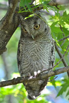Eastern Screech Owl -