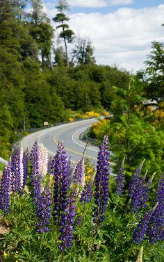 Bellos lupinos en el camino de los 7 lagos hacia Villa La Angostura, Neuquén.