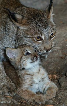 N Unal Baby Bobcat Gato Grande Big Cats Cats And Kittens