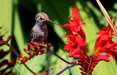 https://flic.kr/p/JfhL8D   Young Anna's at the crocosmia