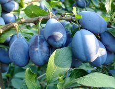 Conform profesorului Ovidiu Bojor, frunzele de prun au efectele laxative si diuretice ale prunelor. De asemenea, aceste frunze au si proprietati purgative. Poti sa le utilizezi in caz de probleme digestive si viermi intestinali. Se prepara un decoct dintr-o lingura … Continuă citirea → Home Remedies, Natural Remedies, Clean Arteries, Heal Cavities, Natural Healing, Good To Know, Plum, Health Tips, Flora