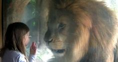 Huge Lion Freaks Out After Little Girl Blows a Kiss at Zoo
