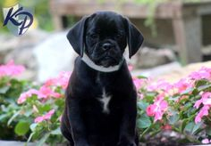 Keystone Puppies has a puppy finder feature setting you up to find and buy a dog perfect for your home. Use our petfinder today! Puggle Puppies For Sale, Cute Puppies, Puppy Finder, Buy A Dog, Snuggles, Puppy Love, Pugs, Animals, Animales