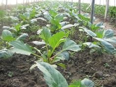 How to take DAHLIA CUTTINGS IN HOOPHOUSE