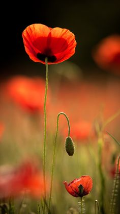 The poppies' time - by j-ac