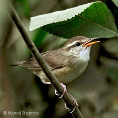 Pale-footed Bush Warbler(Urosphena pallidipes) pale-footed bush warbler (Urosphena pallidipes) is a species of warbler in the family Cettiidae, found in South Asia. It is known as Oriental bird.