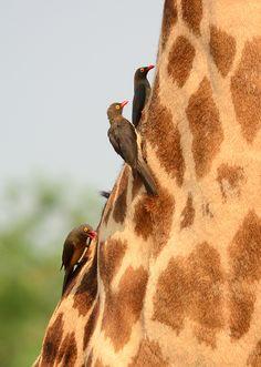 Red-billed oxpeckers (Buphagus erythrorhynchus) cleaning up ticks on a Thornicroft Giraffe.   The Rhodesian giraffe (Giraffa camelopardalis thornicrofti) is one of nine subspecies of giraffe.