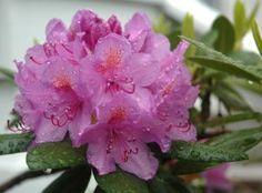 Rhododendron : plantation, entretien et taille du rhododendron