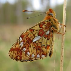 Ventral view of a Pearl-bordered Fritillary(Clossiana euphrosyne) photographed by Karen Nichols i the  Newforest Hampshire, UK on 4th May 2015
