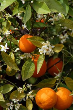 Orange blossoms... Springtime.. Smelling them makes me remember a better time. It always makes me smile. One of my two favorite scents.