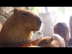 狭いたらいにムリヤリ割り込む姉カピバラ (Sister capybara gets in a small bath by force) - YouTube | Nagasaki Bio Park Japan