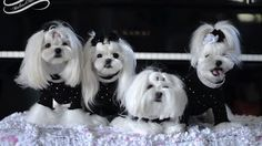 Life Black Bling Maltese May The Fourth Greeting Puppies And Kitties, Cute Puppies, Cute Dogs, Teacup Maltese, Maltese Dogs, Maltese Haircut, Dog Activities, Dog Travel, Pet Grooming