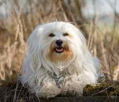 Best small dogs for apartments - friendly, relatively quiet, clean and moderate to low energy dogs. Find out who made our list. Best Dogs For Kids, Best Small Dogs, All Small Dog Breeds, Dog Breeds List, Cute Dogs Breeds, Best Dog Breeds, Child Friendly Dogs, Friendly Dog Breeds, Lap Dogs
