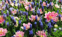 Spring Borders, Bulb Combinations, Perennial Combinations,  Mid Spring Bulb Combinations, Early Spring Bulb Combinations, Anemone blanda 'Blue Shades,Muscari latifolium,Tulip 'Peach Blossom',