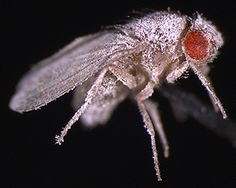 A Drosophila fly infected with fungus. Flies raised in space were unable to fight off fungal infections because defects in the immune system. (Deborah Kimbrell/UC Davis photo )