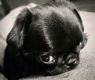 Awwwww little puggie