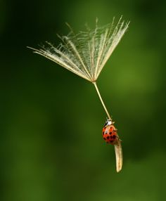 Dandilion seed with a lady bug