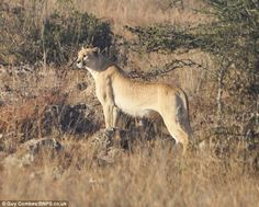 The lesser-spotted cheetah: Rare big cat without traditional markings sighted in wild for first time in nearly 100 years (25 April 2012). Cool!