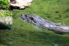 Auf Entdeckungstour © ein Fischotter in einem Aquarell von Frank Koebsch | Fischotter im Rostockeer Zoo (c) FRank Koebsch