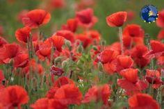 Le Pays du Coquelicot et ses espaces protégés de la vallée de la Somme offrent une variété de milieux et de paysages emblématiques et historiques qui bénéficient de 2 classements européens. Les étangs  sont  le paradis des pêcheurs et des promeneurs à pied et à vélo. La bataille de la Somme de juillet 1916 a laissé place à un « circuit du souvenir » reconnaissable à sa fleur de coquelicot, qui s'inscrit dans une démarche de tourisme de mémoire.  @F. Colson Meaulte  #somme #picardie #EDEN