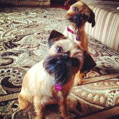 Maci and Dutchy My Brussels Griffon doggies : )