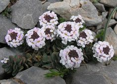 Aethionema saxatile is a dwarf rock plant which grows in the mountains, almost at any altitude. Common English name is Burnt Candytuft. The plant is really tiny. Shade Loving Flowers, Types Of Flowers, Fast Growing Shade Trees, Mustard Plant, Rock Garden Plants, Little Gardens, Garden Nursery, Moon Garden, How To Attract Hummingbirds