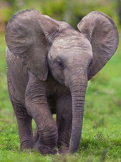 "Africa | ""Little Big Boy"".  Elephant calf in Addo Elephant National Park, South Africa | © 一把阳光"