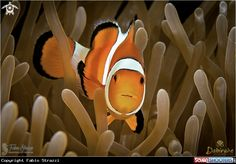 Anemonefish in Lembeh - indonesia