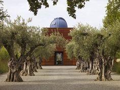 olives - old