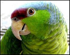 Amazona finschi @loromania