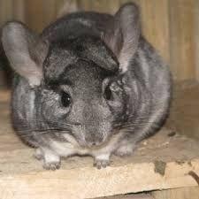 Short Tailed Chinchilla Google Search Pets Animals Small Pets