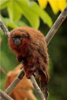 Rare Dusky Titi Monkey, critically endangered.