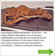 An amazing story!  A skinny pitbull is discovered in a garbage bag by workers at the bottom of a ramp of 19 stories high!  The dog was motionless, masa alive. This is a photo of the moment when he was found.  View pictures and read the love story of who took care of him!