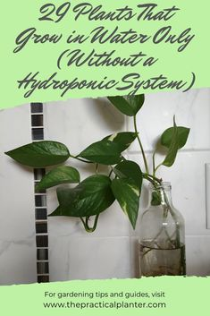 Check out these 29 amazing plants that can grow in just water! They don't even require a hydroponic system. plants indoor 29 Plants That Grow in Water Only (Without a Hydroponic System) - The Practical Planter Ebb And Flow Hydroponics, Hydroponic Grow Systems, Hydroponic Plants, Hydroponic Growing, Hydroponics System, Hydroponic Tomatoes, Hydroponic Lettuce, Hydroponic Vegetables, Plants Grown In Water