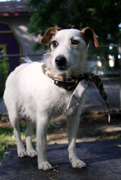 Adopted! Gentle and sweet Daisy is in need of a loving home! This beautiful eight-year-old Jack Russell mix would love to join a quiet family who will help her build confidence and give her plenty of snugly lap time!